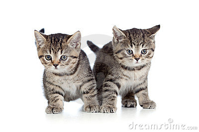 Two kitten pure breed striped british