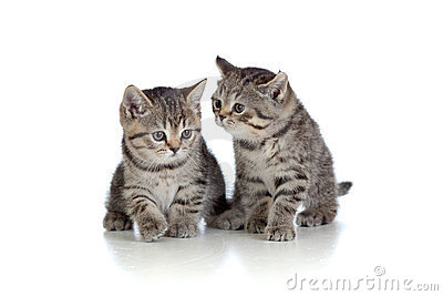 Two kittens pure breed striped british