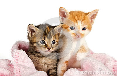 Two kittens wrapped in a pink blanket