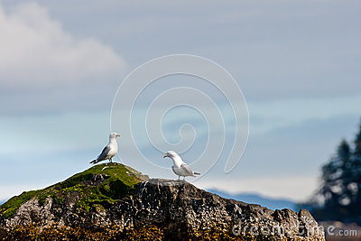 Two Kittiwakes