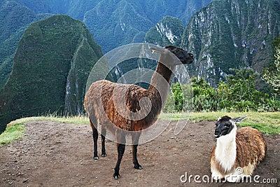 Two lama
