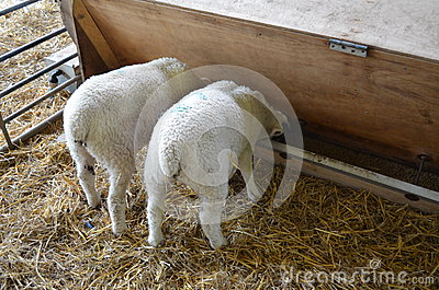 Two lambs feeding from a trough. Stock Photo