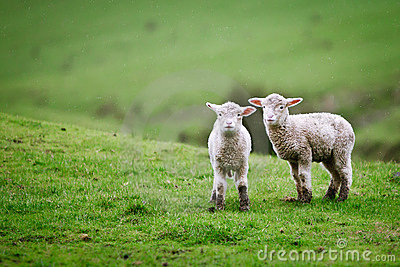 Two lambs on the meadow.