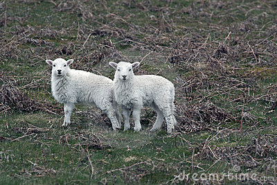 Two lambs in Spring, England