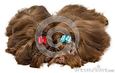 Two lap dogs in studio