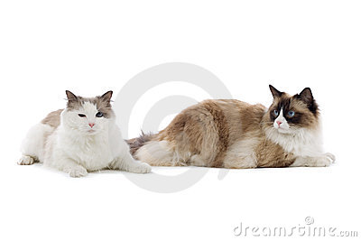 Two large cats