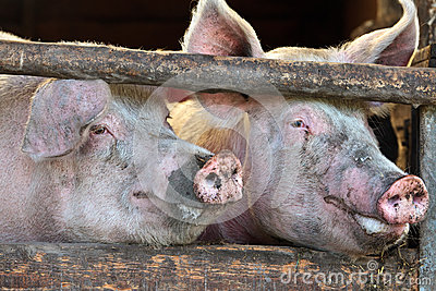 Two large fully grown male pigs