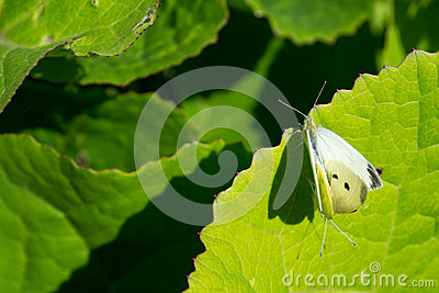 Two the large White butterfly on flower