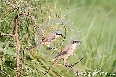 Two larks