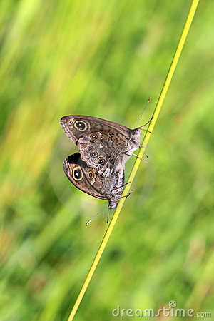 Two Lasiommata maera butterflies mating