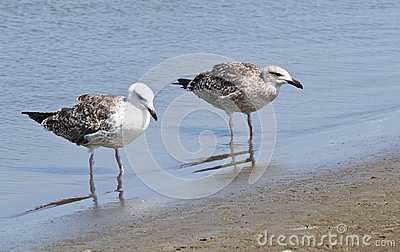 Two Laughing Gulls
