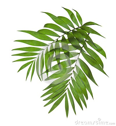 Free Two Leaves Of A Palm Tree Royalty Free Stock Photography - 35451817