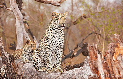 Two Leopards resting on the tree