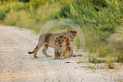 Two lion cubs interrupt their play to look photographer