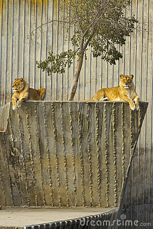 Two lioness resting