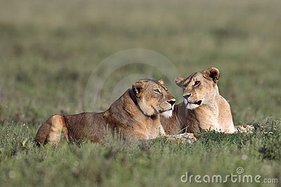 Two lionesses lie in the grass