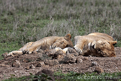Two lionesses sleeping in the grass