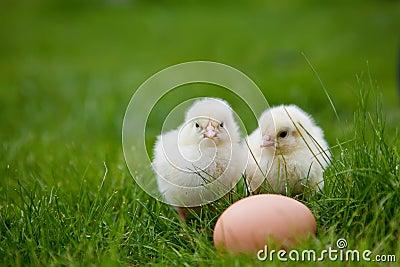 Two little chicken
