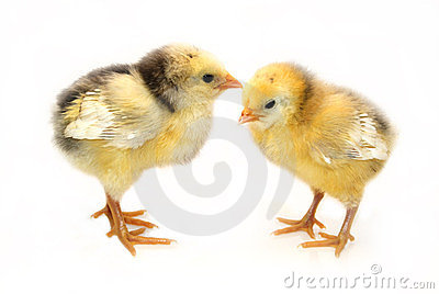 Two little chickens