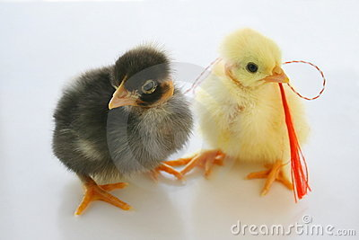 Two Little Chickens for present