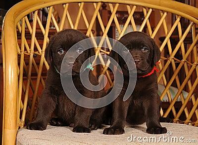 Two little labrador puppies portrait