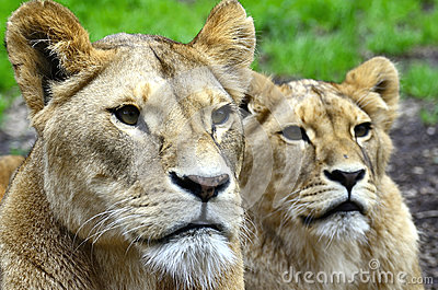 Two little lions