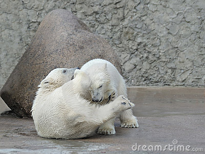 Two little polar bears fighting