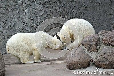 Two little polar bears play soccer