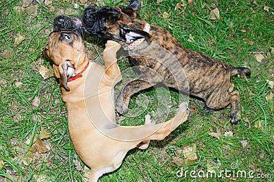 Two little puppies Bullmastiff