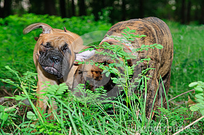 Two little puppies Bullmastiff