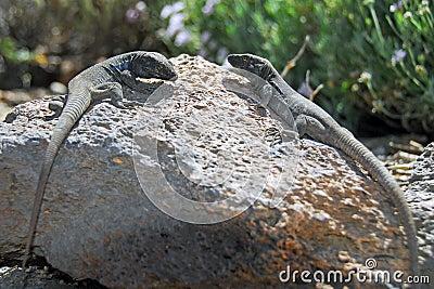 Two lizards in Tenerife