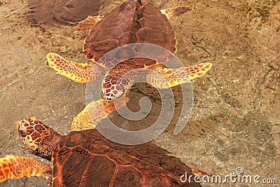 Two loggerhead sea turtle in Gumbo limbo natural c