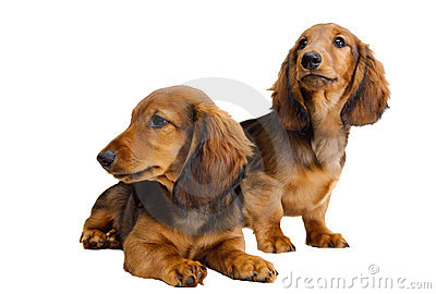 Two  Longhair dachshund puppies