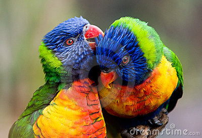 Two lorikeet birds