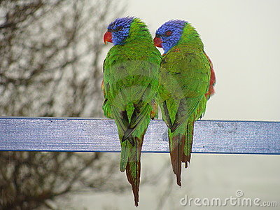 Two lorrikeets looking same direction
