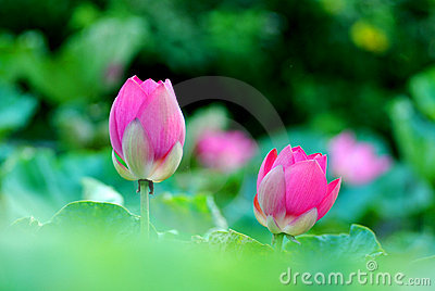 Two lotus flower buds
