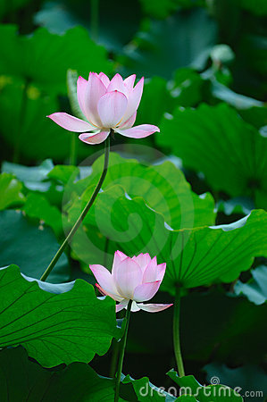 Two Lotus flowers
