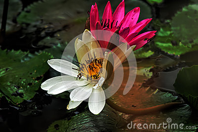 Two Lotus Flowers Stock Photo