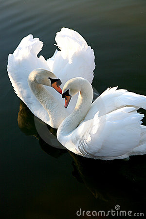Free Two Love Swans Royalty Free Stock Photo - 1091185