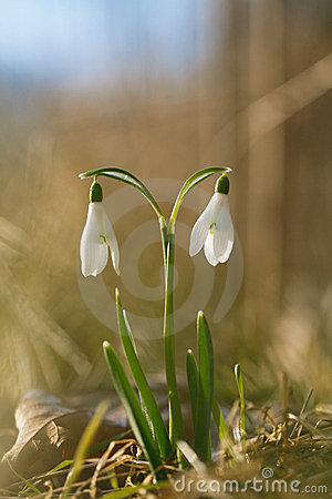 Two lovely snowdrop flowers soft focus