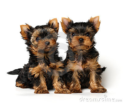 Two lovely yorkshire puppies on white background