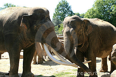 Two loving asian elephants