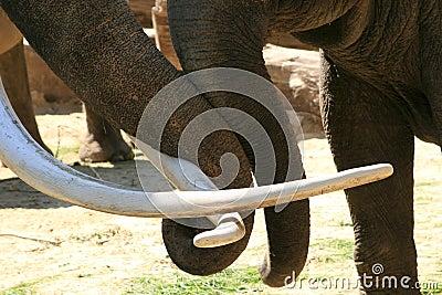 Two loving trunks (elephants)