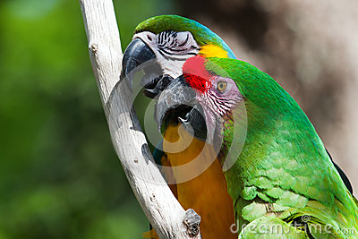Two Macaw s perched on a tree