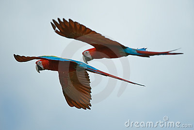 Two macaws flying high