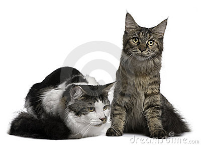 Two Maine Coon Cats, 8 and 9 months old