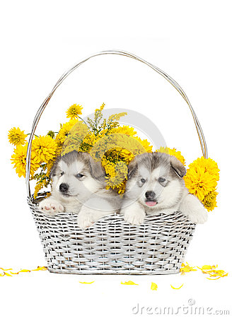 Two malamute puppies in a flower basket