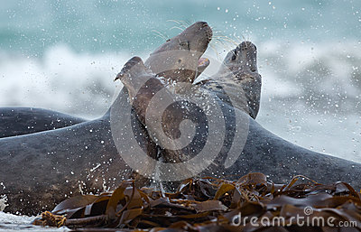 Two male grey seal