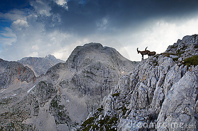 Two male ibex