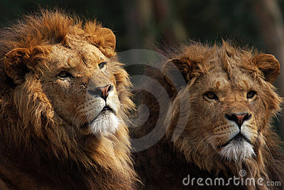 Two male lions on the lookout